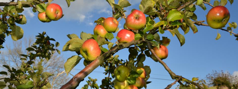 Benburb Bramleys Premium Processed Fruit